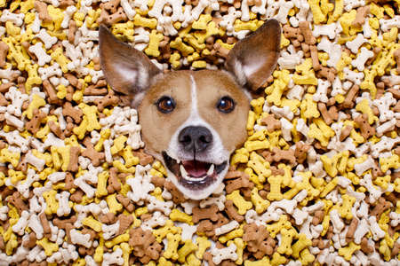 stack of papers: hungry jack russell dog inside a big mound or cluster of food , isolated on mountain of cookie bone  treats as background