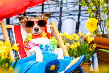Jack-Russell-Hund auf einer schicke roten Hängematte mit Sonnenbrille im Sommer oder Frühling Ferien Urlaub unter Regenschirm auf dem Balkon auf der Terrasse entspannen