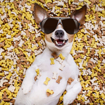 feast: hungry jack russell dog inside a big mound or cluster of food , isolated on mountain of cookie bone  treats as background, wearing cool sunglasses
