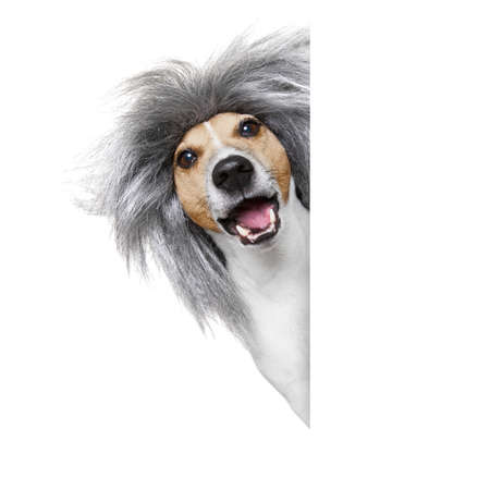 idea: smart and intelligent dumb or nerd  jack russell dog  wearing a grey hair wig , isolated on white background