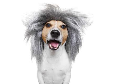 educadores: elegante e inteligente toma de tonto o dog nerd Russell que lleva una peluca de cabello gris, aislado en fondo blanco