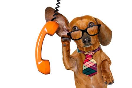 Kantoor werker zakenman tekkel worst hond als baas en chef-kok, met koffer luisteren en goed luisteren op de telefoon of telefoon, geïsoleerd op een witte achtergrond