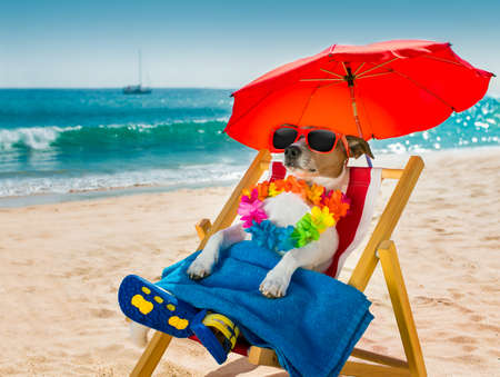 ocean waves: jack russel dog resting and relaxing on a hammock or beach chair under umbrella at the beach ocean shore, on summer vacation holidays