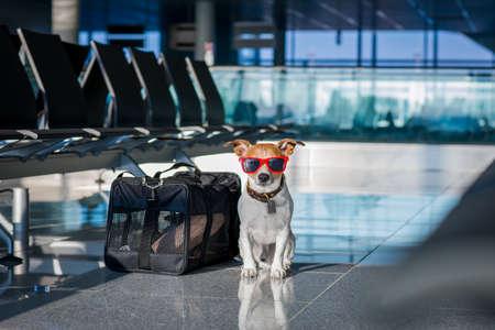 Prise de vacances de vacances chien russell attente dans terminal de l'aéroport prêt à monter à bord de l'avion ou un avion à la porte, bagages ou un sac sur le côté Banque d'images - 76011238