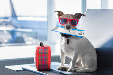 prise de vacances de vacances chien russell attente dans terminal de l'aéroport prêt à monter à bord de l'avion ou un avion à la porte, bagages ou un sac sur le côté