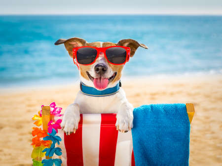 jack russel dog resting and relaxing on a hammock or beach chair  at the beach ocean shore, on summer vacation holidays Stock Photo