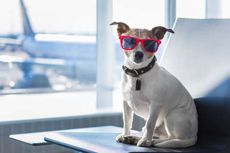 holiday vacation jack russell dog waiting in airport terminal ready to board the airplane or plane at the gate