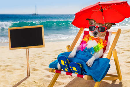 sunbath: jack russel dog resting and relaxing on a hammock or beach chair under umbrella at the beach ocean shore, on summer vacation holidays
