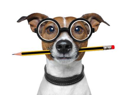 Jack russell cane con matita o penna in bocca indossa occhiali nerd per il lavoro come un capo o segretaria, isolato su sfondo bianco Archivio Fotografico - 76009184