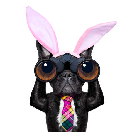 binoculars french bulldog dog with  easter  bunny ears ,isolated on white background