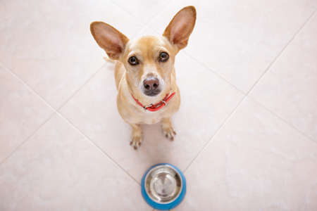 biscuits: hungry  chihuahua dog behind empty  bowl, isolated by floor background at home and kitchen looking up  to owner and begging for food Stock Photo