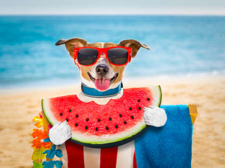 jack russel dog resting and relaxing on a hammock or beach chair  at the beach ocean shore, on summer vacation holidays eating a watermelon Archivio Fotografico