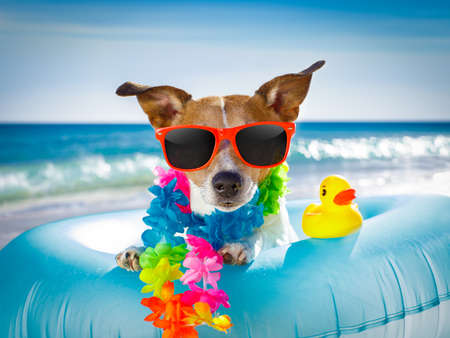 jack russel dog resting and relaxing on a air mattress or swim ring   at the beach ocean shore, on summer vacation holidays Stock Photo