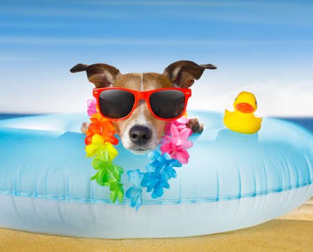 bath: jack russel dog resting and relaxing on a air mattress or swim ring   at the beach ocean shore, on summer vacation holidays Stock Photo