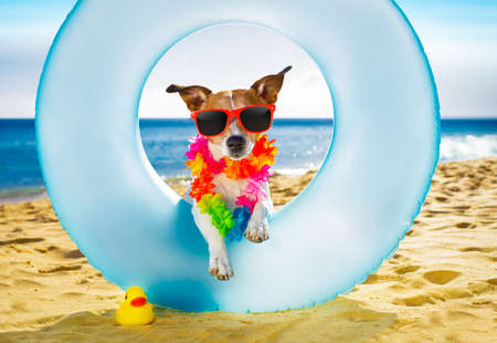 jack russel dog resting and relaxing on a air mattress or swim ring   at the beach ocean shore, on summer vacation holidays Archivio Fotografico