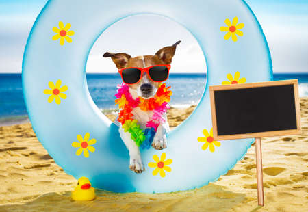sunbath: jack russel dog resting and relaxing on a air mattress or swim ring   at the beach ocean shore, on summer vacation holidays banner or placard to the side Stock Photo