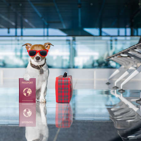 board: holiday vacation jack russell dog waiting in airport terminal ready to board the airplane or plane at the gate, luggage or bag to the side