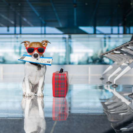 board: holiday vacation jack russell dog waiting in airport terminal ready to board the airplane or plane at the gate, luggage or bag to the side , flight ticket in mouth