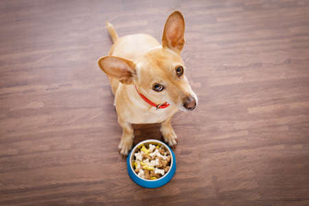 hungry  chihuahua dog behind food bowl  isolated wood background at home and kitchen looking up  to owner and begging