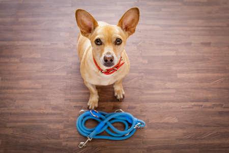 obediencia: Chihuahua perro a la espera de propietario para jugar e ir a dar un paseo con correa, aislado en el fondo de madera Foto de archivo