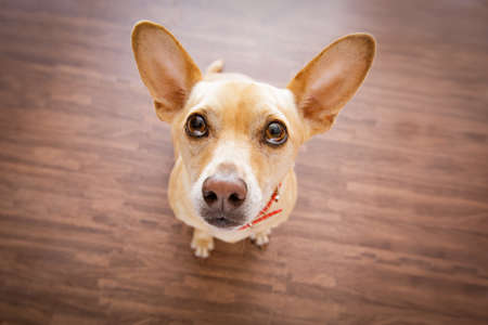 punishing: chihuahua dog waiting and looking up for owner to play  and go for a walk   , isolated on floor background