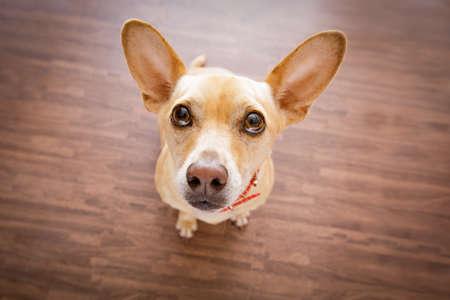 Chihuahua hond wachten en op zoek naar eigenaar om te spelen en te gaan wandelen, geïsoleerd op de vloer achtergrond