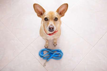 obediencia: Chihuahua perro a la espera de propietario para jugar e ir a dar un paseo con correa, aislado en el fondo del piso Foto de archivo