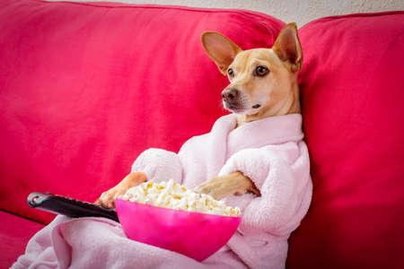 Perro chihuahua viendo la televisión o una película sentada en un sofá o sofá rojo con control remoto cambiando los canales con palomitas de maíz Foto de archivo - 76663563