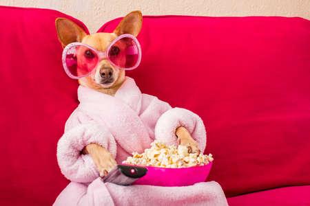 Chihuahua Hund fernsehen oder ein Film sitzt auf einem roten Sofa oder Couch mit Fernbedienung ändern die Kanäle mit Popcorn