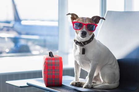 holiday vacation jack russell dog waiting in airport terminal ready to board the airplane or plane at the gate, luggage or bag to the side