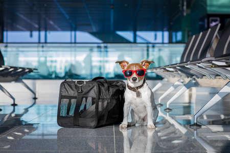 Prise de vacances de vacances chien russell attente dans terminal de l'aéroport prêt à monter à bord de l'avion ou un avion à la porte, bagages ou un sac sur le côté Banque d'images - 76664501