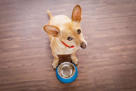 home: hungry  chihuahua dog behind empty  bowl, isolated wood background at home and kitchen looking up  to owner and begging for food Stock Photo