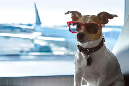 Feriado de férias jack russell dog esperando no terminal do aeroporto pronto para embarcar no avião ou avião no portão, Imagens