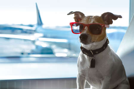 holiday vacation jack russell dog waiting in airport terminal ready to board the airplane or plane at the gate,