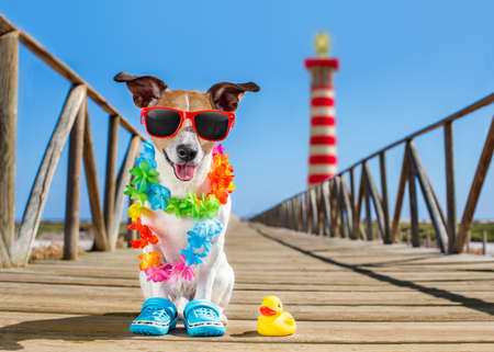 sunbath: jack russel dog  at the beach ocean shore, on summer vacation holidays  with a plastic duck, lighthouse at the back
