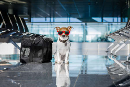 business: holiday vacation jack russell dog waiting in airport terminal ready to board the airplane or plane at the gate, luggage or bag to the side