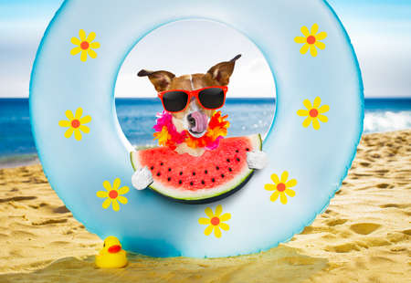 jack russel dog resting and relaxing on a air mattress or swim ring   at the beach ocean shore, on summer vacation holidays eating a fresh watermelon