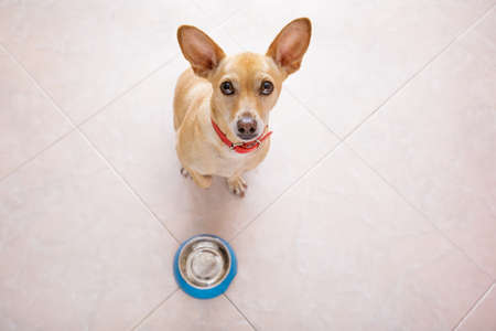 empty: hungry  chihuahua dog behind empty  bowl, isolated by floor background at home and kitchen looking up  to owner and begging for food Stock Photo