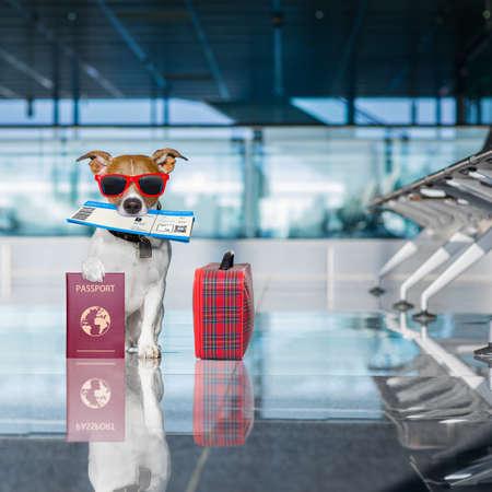 voyage: Vacances vacances jack russell chien en attente dans le terminal de l'aéroport prêt à monter à bord de l'avion ou de l'avion à la porte, bagages ou sac sur le côté, billet d'avion dans la bouche