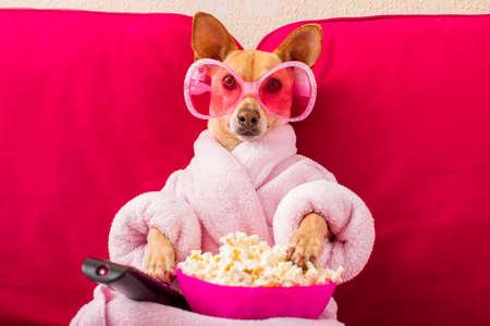 Perro chihuahua viendo la televisión o una película sentada en un sofá o sofá rojo con control remoto cambiando los canales con palomitas de maíz Foto de archivo - 77755576