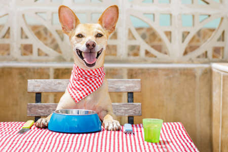 eating utensil: hungry chihuahua dog eating with tablecloth utensils at the table , food  bowl , fork and knife Stock Photo