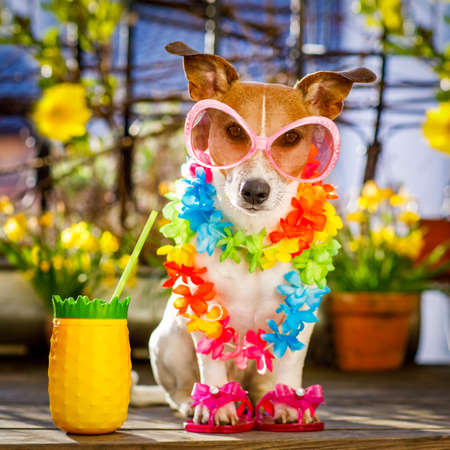 voyage: Jack russell dog relaxing on balcony with sunglasses in summer or spring  vacation holidays   with a cocktail drink