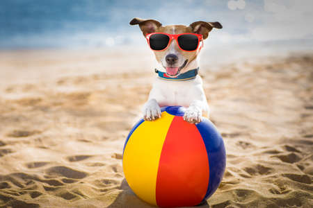 Jack russel hund am strand ozeanufer, auf sommerferien feiertage mit einer plastikkugel