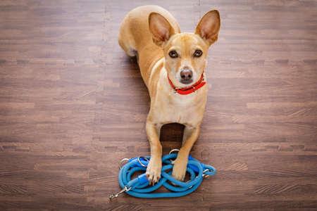 paciencia: Chihuahua perro a la espera de propietario para jugar e ir a dar un paseo con correa, aislado en el fondo de madera Foto de archivo