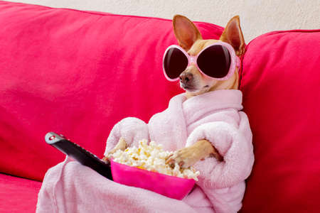 chihuahua dog watching tv or a movie sitting on a red sofa or couch  with remote control changing the channels with popcorn Stock Photo - 77755536