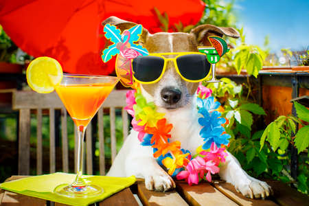 funny glasses: jack russell dog relaxing on balcony with sunglasses in summer or spring  vacation holidays   with a cocktail drink Stock Photo