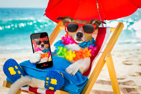 jack russel dog resting and relaxing on a hammock or beach chair under umbrella at the beach ocean shore, on summer vacation holidays taking a selfie with smartphone or mobile phone or telephone Stock Photo