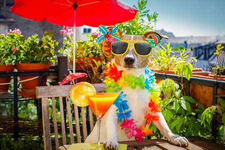 happy holidays: jack russell dog relaxing on balcony with sunglasses in summer or spring  vacation holidays   with a cocktail drink Stock Photo