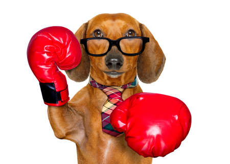 animal fight: dachshund or sausage  dog boxing  with big red gloves businessman , manager, or secretary isolated on white background. Stock Photo