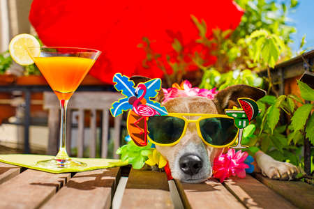 drunk sick ill jack russell dog with sunglasses in summer or spring  vacation holidays   with a cocktail